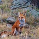 close up of red fox during Colorado Jeep Tours
