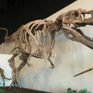 dinosaur skeleton at the Dinosaur Experience Royal Gorge Canon City Colorado